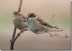 10-sparrows1