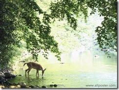 Deer at Water
