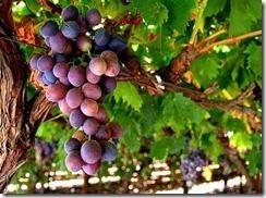 fruitful-vine